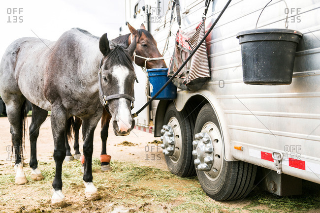Horses tied to a horse trailer