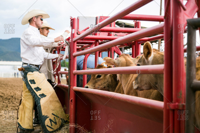 Taos, New Mexico, USA - June 28, 2015: Rodeo cowboys standing at a chute with calves