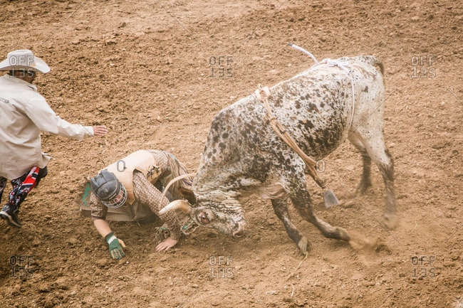 Taos, New Mexico, USA - June 28, 2015: Bull going after a fallen rider