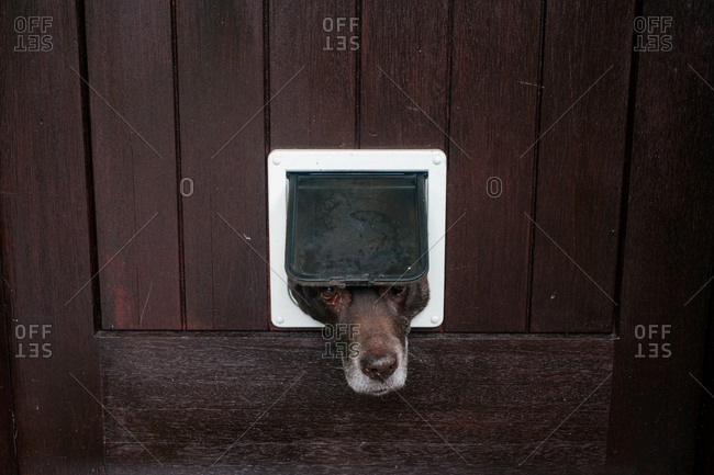 Dog looking through a cat flap in Great Comberton, Worcestershire, England