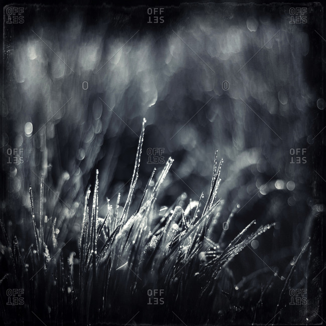 Dew on blades of grass in the morning light, monochrome
