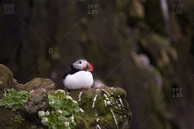 Puffing sitting on rock in Iceland