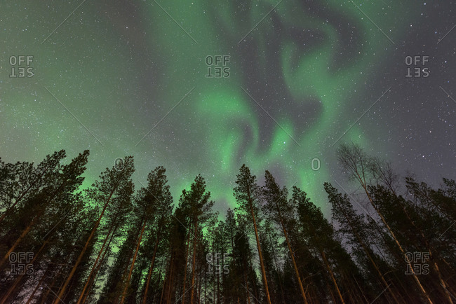 Aurora Borealis lights over Arctic Circle treetops
