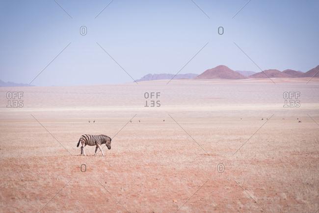 Zebra grazing in Namibian desert