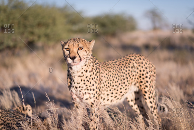 Cheetah in savannah in Namibia
