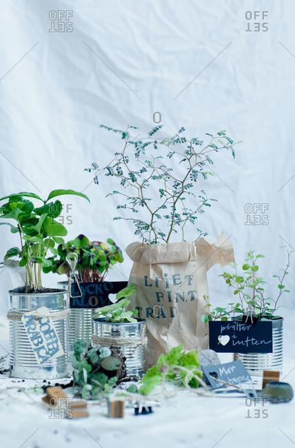 Various herbs growing in metal tins