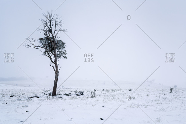 Gnarled bare tree in a snow-covered field