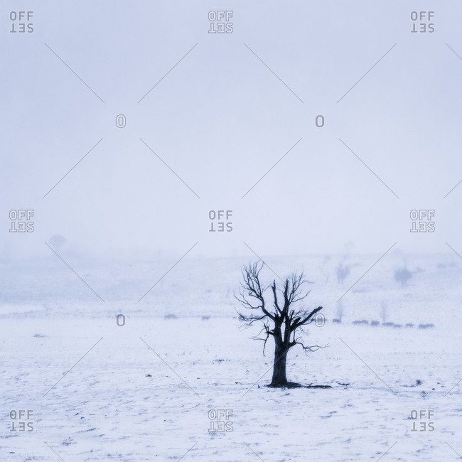 A small lone tree in a snowy field with cattle in distance