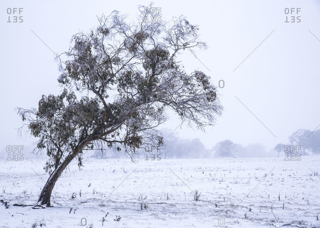 Lone tree leaning in a snowy field