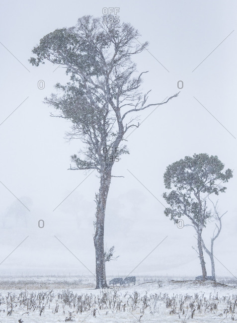 Cattle graze beneath two tall trees in a snowy pasture