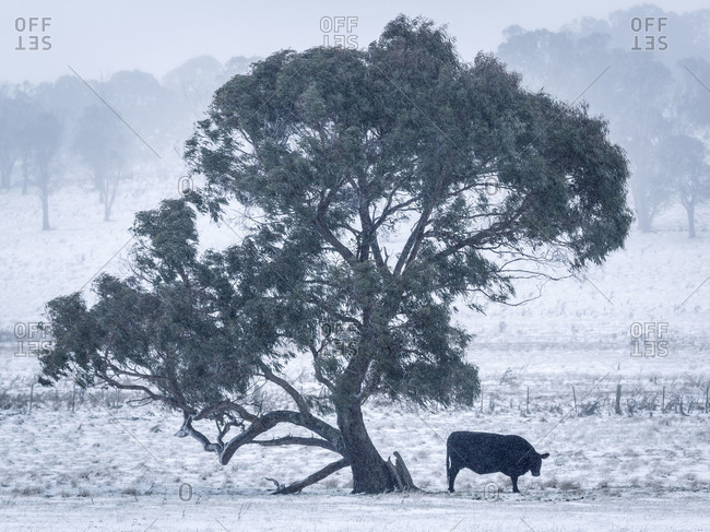 Single cow under a tree during a winter storm