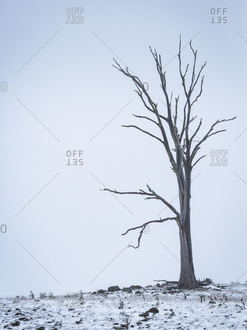 Bare dead tree in a rocky pasture in winter