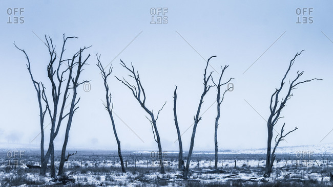 Pasture with a row of bare, dead trees in winter