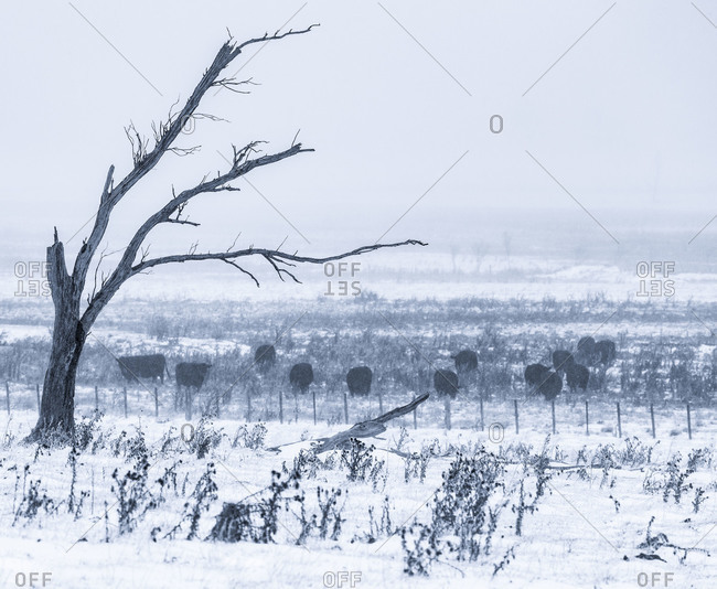 Cattle graze in a pasture during a winter storm