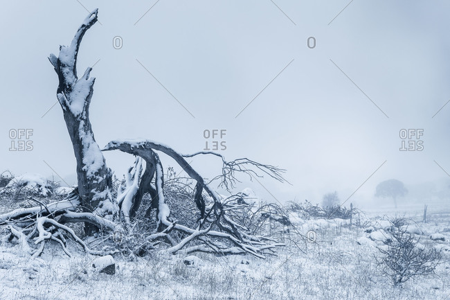 Broken tree stump with branches on the ground during a winter storm