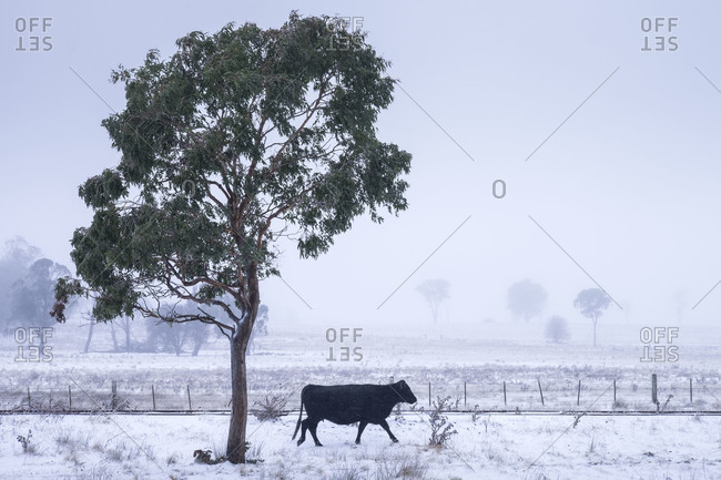 Cow walking beneath a tree in a snowstorm