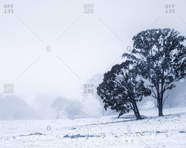 Trees in a sloping snow covered pasture