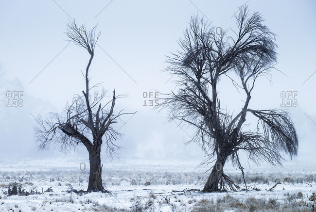 Unusual trees in a barren winter landscape