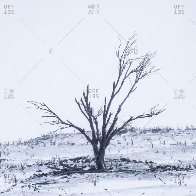 Cracked tree in harsh winter landscape