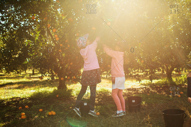 Girls pick oranges in a grove