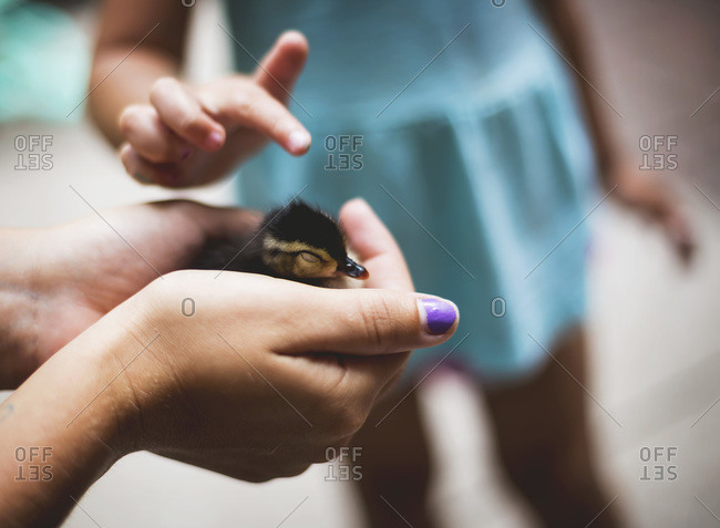 Child pets a tiny duckling behind held by an adult