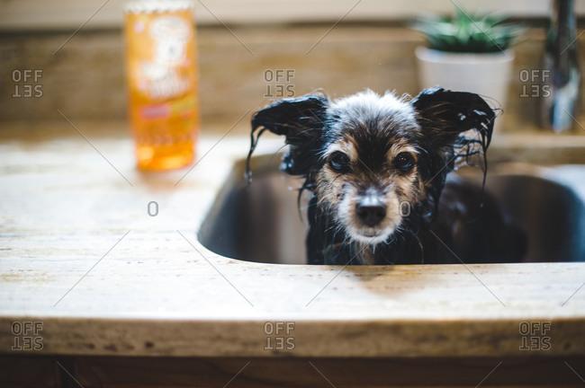Wet dog in a kitchen sink