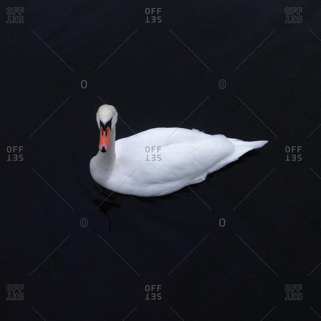 Swan floating in water