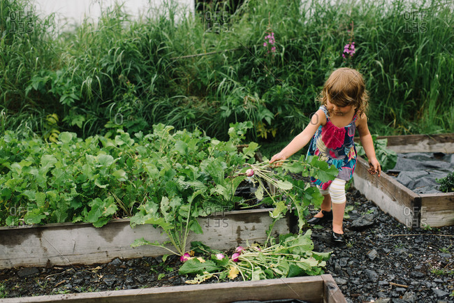 Little girl pulling radishes from a garden