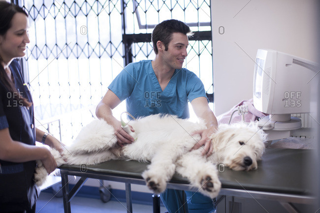 Veterinarian and assistant doing a sonogram on a dog