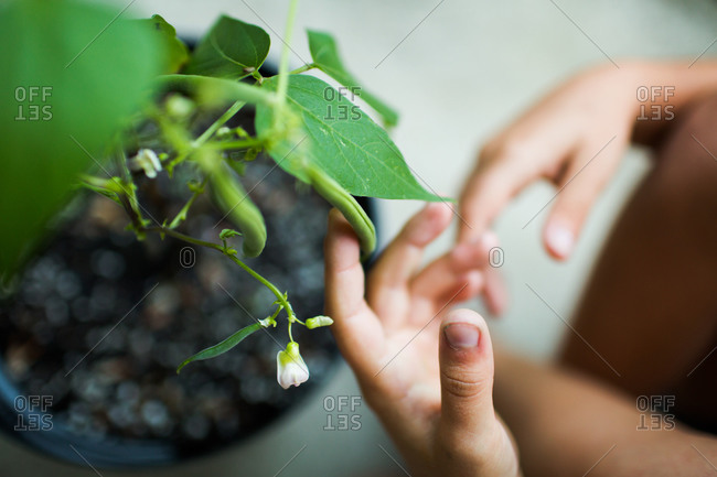 A girl checks on growing green beans
