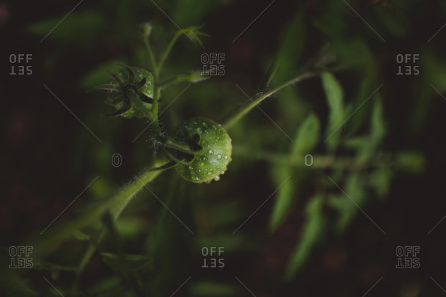 Immature tomatoes on the vine