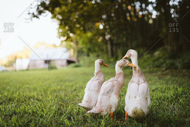 Three ducks huddled together in rural yard