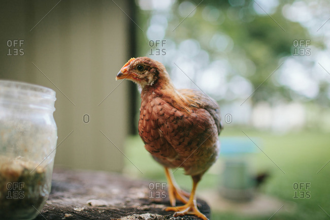 Immature chicken in rural yard