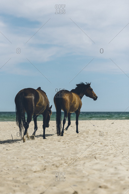 Two wild horses walk on a beach in Sweden
