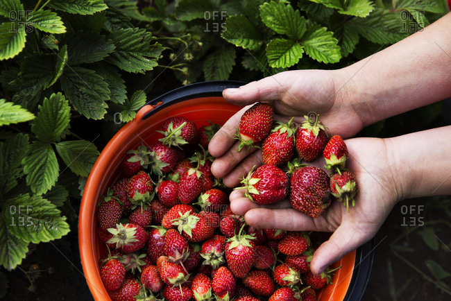 Hands holding fresh strawberries from a bucket