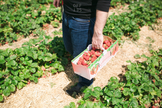 A man holds fresh strawberries in a garden