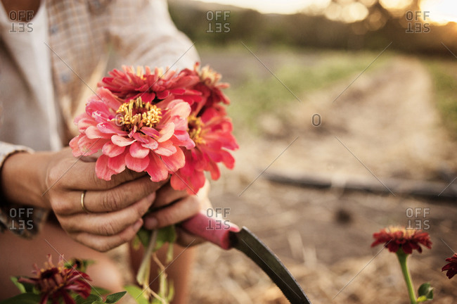 Close up of fresh picked zinnias on a farm