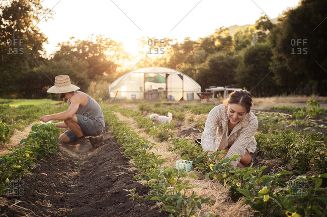 Workers harvesting peppers on a small scale farm