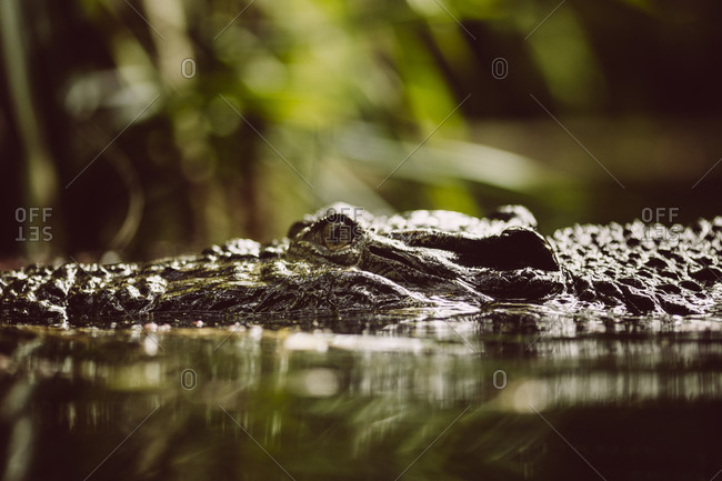 A crocodile glides through water at the Singapore Zoo