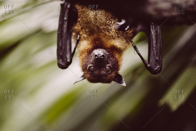 A hanging bat in the aviary at the Singapore Zoo