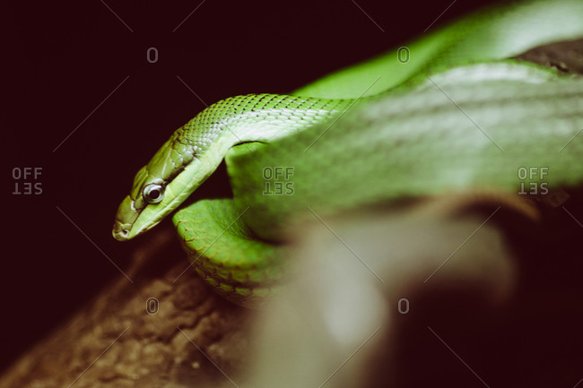 A bright green tree snake rests on a branch at the Singapore Zoo
