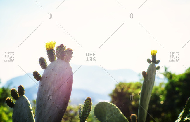 Blossom of a prickly pear in evening sun, Liguria