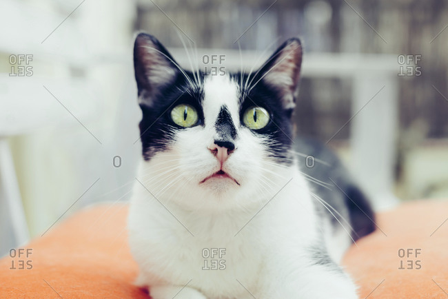 White and black cat with scared face