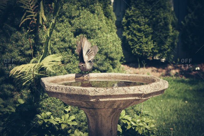 Bird at the edge of a bird bath in garden