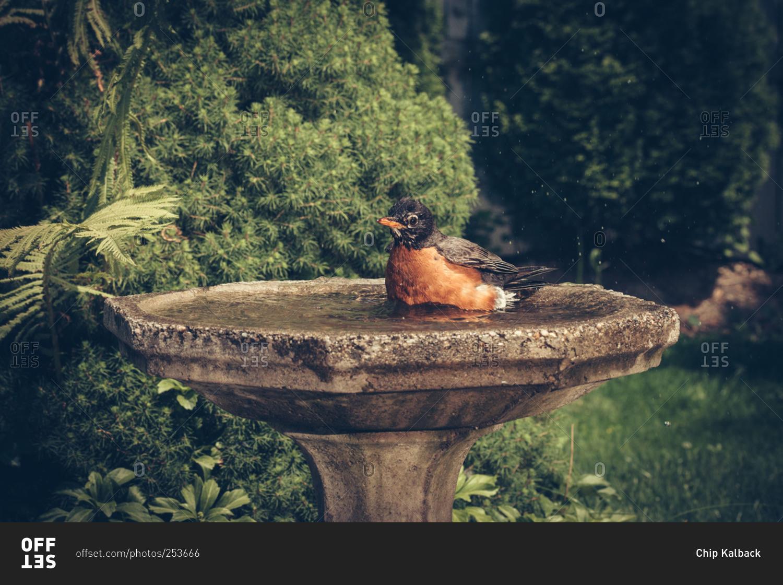 robin bathes itself in a backyard bird bath stock photo offset