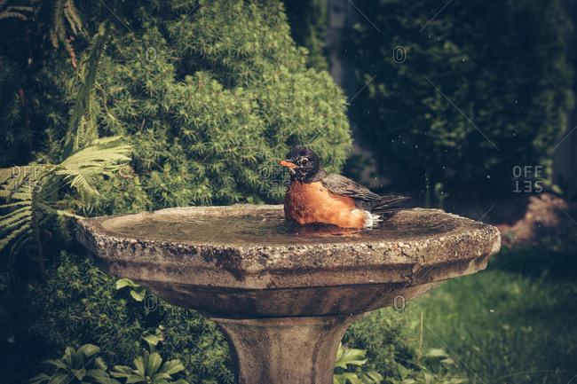 Robin bathes itself in a backyard bird bath
