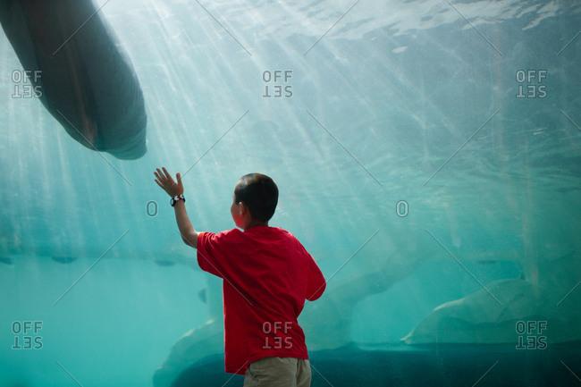 Boy touching the glass in an aquarium sea lion exhibit