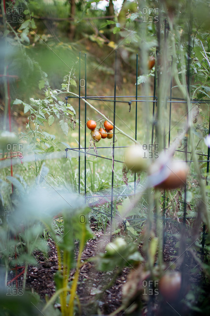 Tomatoes plants in small rural garden