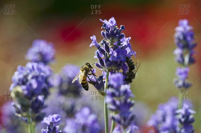 Honey bees on lavender flowers