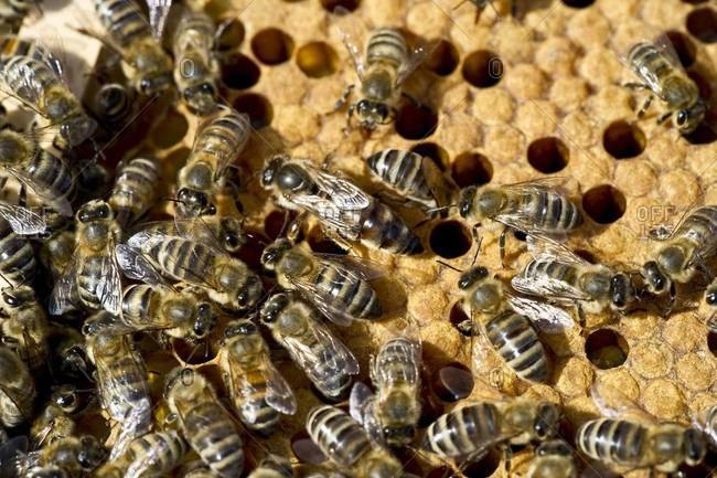 Worker bees crawling on a honeycomb